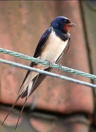 Канарейка.  Предлагаю небольшую подборку голосов птиц.  Воробей.